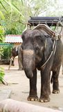 Elephant in harness for trekking closeup Royalty Free Stock Images