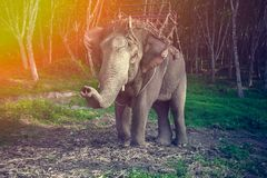 Elephant in harness for trekking with his trunk up Stock Photo