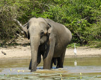 Elephant having bath Stock Images