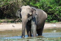 Elephant having bath Royalty Free Stock Photo