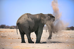 An elephant having a dust bath Stock Photo