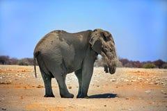An elephant having a dust bath Royalty Free Stock Image