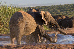 Elephant having fun at waterhole Royalty Free Stock Image