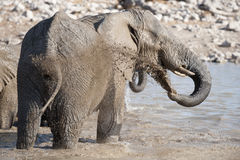 Elephant having a mud bath Stock Image