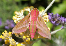 Elephant Hawk Moth Royalty Free Stock Photos