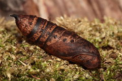 Elephant hawk moth chrysalis. Stock Photos