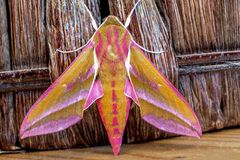 Elephant hawk moth Stock Photography