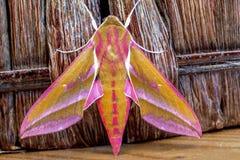 Elephant hawk moth stock photography