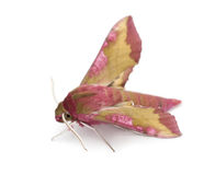 Elephant Hawk, moth, Deilephila elpenor Royalty Free Stock Photos