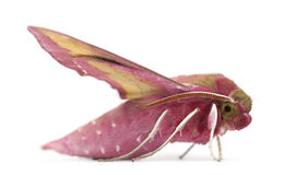 Elephant Hawk, moth, Deilephila elpenor Stock Photos