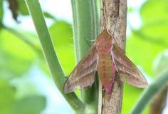 Elephant Hawk moth, Deilephilia elpenor. Elephant Hawk moth, Deilephilia elpenor resting amoung plants Stock Photo
