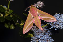 Elephant hawk moth. View of an elephant hawk moth on a blue flower against a black background Royalty Free Stock Image