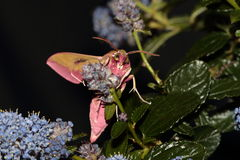 Elephant hawk moth. Royalty Free Stock Photography
