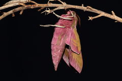 Elephant hawk moth. Royalty Free Stock Photography