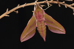 Elephant hawk moth. Royalty Free Stock Photo