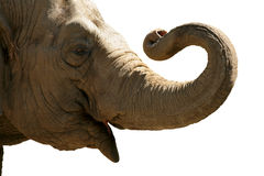 Elephant head Royalty Free Stock Images