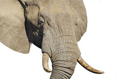 Elephant head. The head of a large male elephant. Clipping path included royalty free stock photos