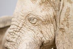 Elephant head Stock Photos