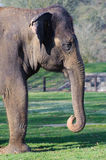 Elephant head. And trunk at Whipsnade zoo Stock Photo