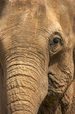 Elephant head. Vertical royalty free stock images