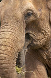 Elephant head. Vertical stock image