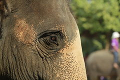 Elephant head. A closeup portrait of a mature female asian elephant with textured skin detail Royalty Free Stock Photography