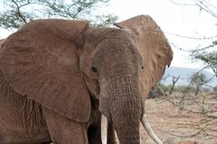 Elephant head. With large ears and tusks royalty free stock photography