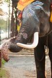 Elephant head. Royalty Free Stock Photo