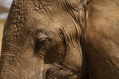 Elephant Head Close Up Royalty Free Stock Photography
