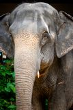 Elephant head close-up. Asian elephant head with eyes and nose, close-up stock images