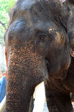 Elephant head close up. Asiatic Elephant head close up Royalty Free Stock Images