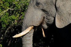 Elephant head close up. Showing white tusk and a dry stick that he is chewing. Taken in Addo region of South Africa Stock Photo