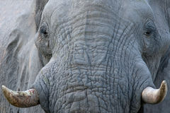 Elephant Head Closeup Royalty Free Stock Image