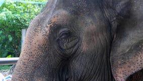 Elephant head and ear