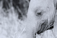 Elephant head and eye close-up  detail artistic conversion Stock Photography