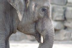 Elephant head indian 1. Indian elephant head in zoo; close-up stock photo