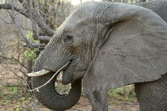 Elephant head in the savanna Stock Images