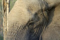 Elephant head in the savanna Royalty Free Stock Photo