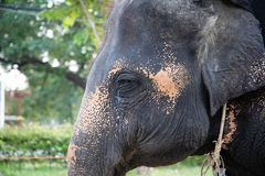 Elephant head shot with chains used for transportation stock photography