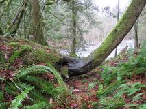 Elephant Head Tree, Olallie State Park, Washington. January 6, 2018. Upper Snoqualmie River Watershed, Olallie State Park, WASHINGTON State. South Fork stock photography