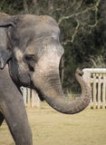 Elephant head and trunk Royalty Free Stock Image