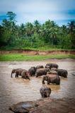 Elephant heard Royalty Free Stock Image