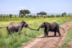 Elephant helps a friend over the road on the savannah. In Serengeti, Tanzania royalty free stock images