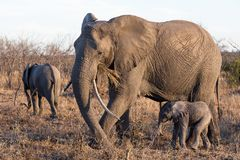 Elephant with her calf stock image