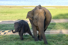 An elephant and her calf grazing next to the tank (man-made reservoir) at Minneriya National Park in the late afternoon. stock photos