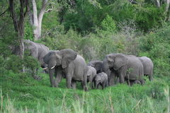 Elephant herd. A herd of elephant moving through the bush Stock Photo