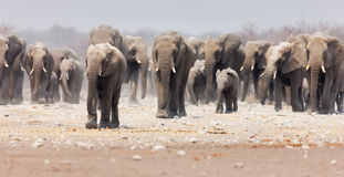 Elephant herd. Large herd of elephants approaching over the dusty plains of Etosha (focus on foremost elephant Stock Images