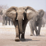 Elephant herd. Elephant approaching over dusty sand with herd following in background Stock Images