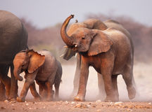 Elephant herd. Approaching over dusty plains of Etosha Royalty Free Stock Photos