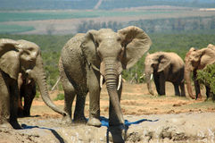 Elephant herd. An elephant bull showing his big ears, trunk and tusks at a water hole in a game park in South Africa being watched by a herd of elephants Royalty Free Stock Image